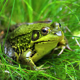 Happy Green Frog by Christina Rollo