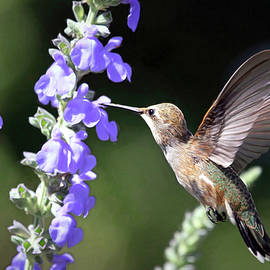 Happy Hummer by Donna Kennedy