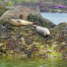 Harbor Seals by Cathy P Jones