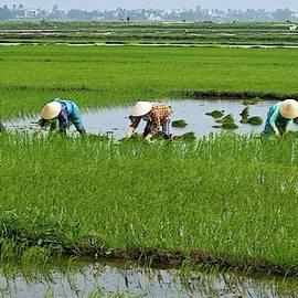 Hard work in vietnam Rice field by Tommy Lindbohm