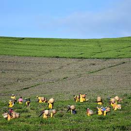 Hardworking Tea Pickers by Marta Kazmierska