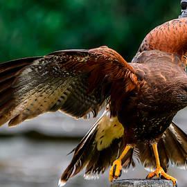 Harris' hawk stretching it's wings by Judit Dombovari