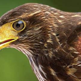 Harris Hawk Up Close by TJ Baccari