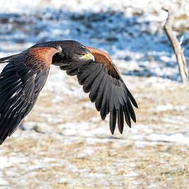 Harris's Hawk in Winter by Judi Dressler