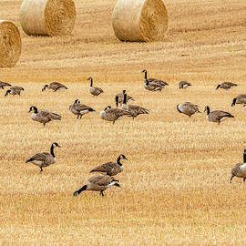 Harvest Time Geese by Marcy Wielfaert