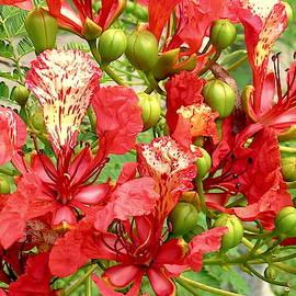 Hawaiian Royal Poinciana by James Temple