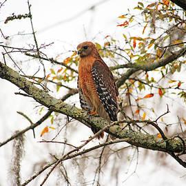 Hawk In Deep Thought by Cynthia Guinn