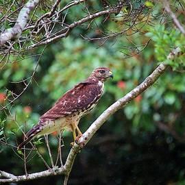 Hawk In The Rain by Cynthia Guinn
