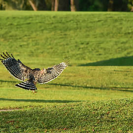 Hawk Pouncing On A Snack by William Tasker