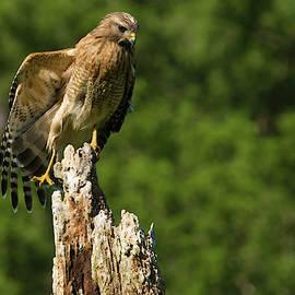 Hawk Resting on Dead Tree by TJ Baccari