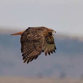 Hawk Scream by Loree Johnson