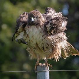 Hawk Shake-Out by Bruce Frye