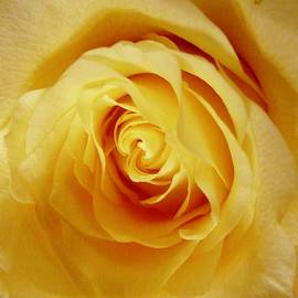 Heart of a Yellow Rose by Stephanie Moore