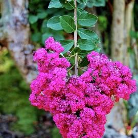 Heart Shaped Crape Myrtle Flowers by Cynthia Guinn