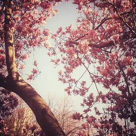 Heavenly Pink Blossoms - Central Park in Spring by Miriam Danar