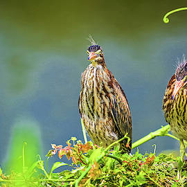 Heckle and Jeckle two young Green Herons by TJ Baccari