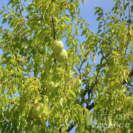 Hedge Apples Growing On Tree by Ruth Housley