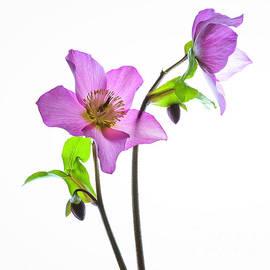 Hellebores Pretty in Pink by Elaine MacKenzie