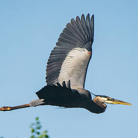 Heron on the Wing by Mary Ann Artz