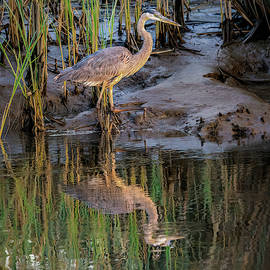 Heron Reflection by Morey Gers