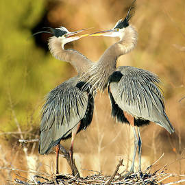 Heron Sweeties by Judi Dressler