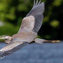 Heron Wings by John Craig