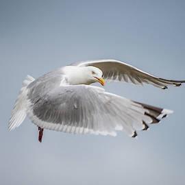 Herring Gull's flight by Torbjorn Swenelius