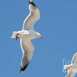 Herring Gulls In Flight by Arterra Picture Library