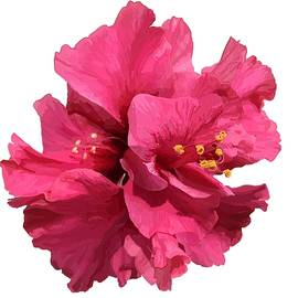Hibiscus Pink Double by Joan Stratton