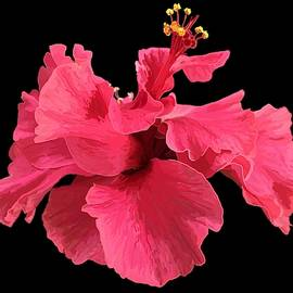 Hibiscus Pink in Black by Joan Stratton