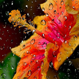 Hibiscus through Raindrops by Kaye Menner