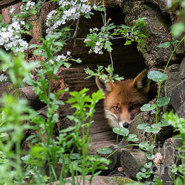 Hidden Red Fox by Arterra Picture Library