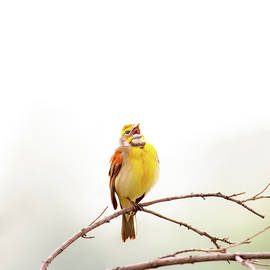 High Key Dickcissel by Jeff Phillippi