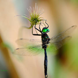 Hines Emerald Dragonfly by Kae Cheatham