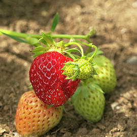 Homegrown Strawberries by Sharon Talson