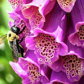 Honey Bee on Purple Foxglove by Mary Ann Artz