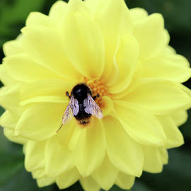 Honeybee And Dahlia by Johanna Hurmerinta