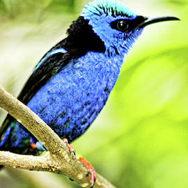 Red Legged Honeycreeper by Max Huber