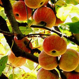 Honeycrisp Harvest by Matt Richardson