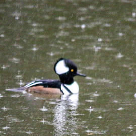 William Rogers - Hooded Merganser Male Duck