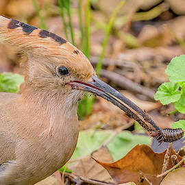 Hoopoe With A Bug by Morris Finkelstein