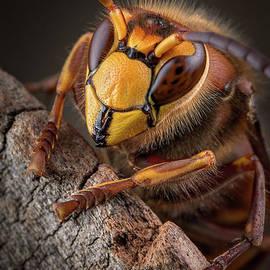 Hornet Face by Marco Fischer