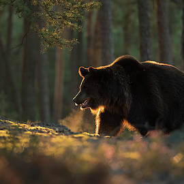 Hot breath... Brown Bear in the woods by Wonderfulearth