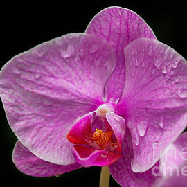 Hot Pink and Dripping Wet Orchid by Sabrina L Ryan