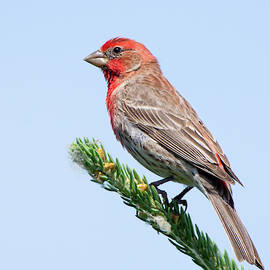 House Finch by Judy Tomlinson