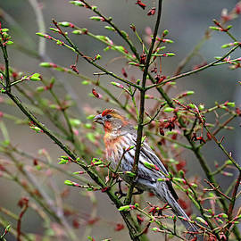 House Finch With Color Variation by Debbie Oppermann