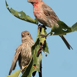 House Finches by Diana Rajala