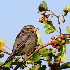 House Sparrow by Dana Hardy