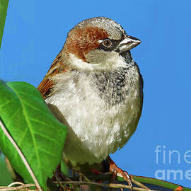 Regina Geoghan - House Sparrow Portrait
