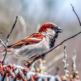 House Sparrow Singing by Donald Lanham